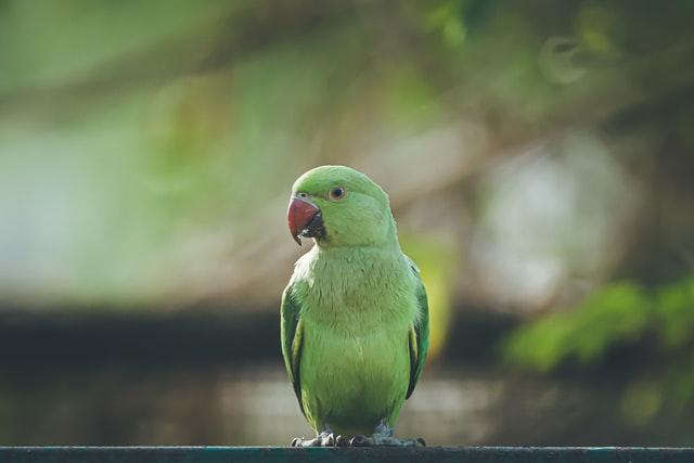 Een papegaai als huisdier nemen